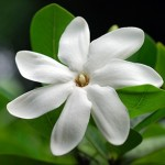 Gardenia taitensis