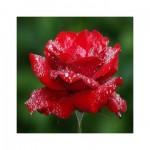 rosa fragancia